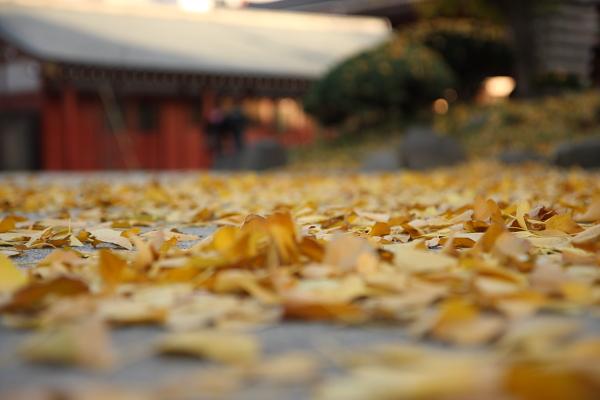 不只淺草寺,東京街頭的行道樹都是銀杏落葉的落葉,有別於台灣街道